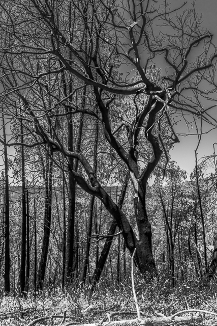 Another view of burnt trees all around. This will be my entry this week to Laura and Leanne's  Monochrome Madness Challenge over on Leanne's Website.
