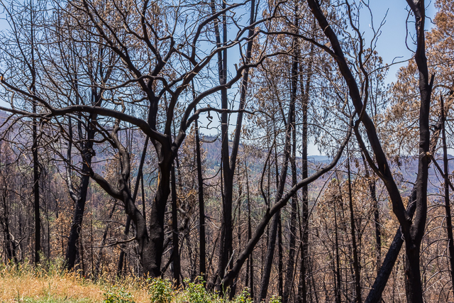 Burnt trees along the side of the road about a half mile from our motel.