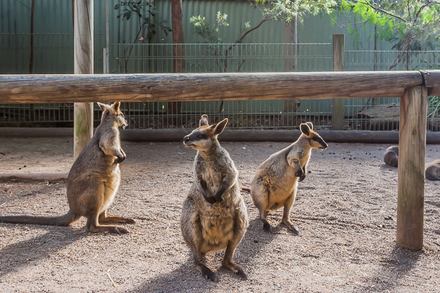 Some of the wallabies were out in the open.
