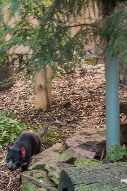 We felt sorry for this Tasmanian devil who was running around in a circle, obviously distressed.