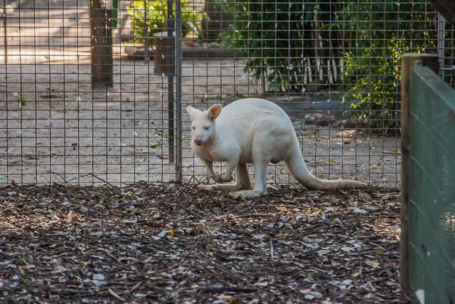 An albino kangaroo.