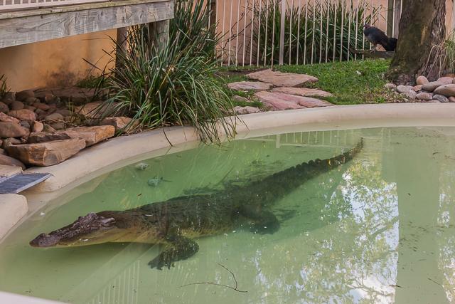 The great big crocodile.