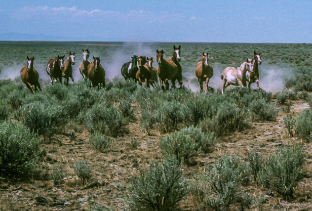 A dozen of the wild horses galloping at full speed and bearing down on us. There were about another dozen to the left of these.