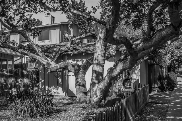 House and tree on Ocean Avenue, Carmel. This is my entry for Leanne Cole's Monochrome Madness 2-24.