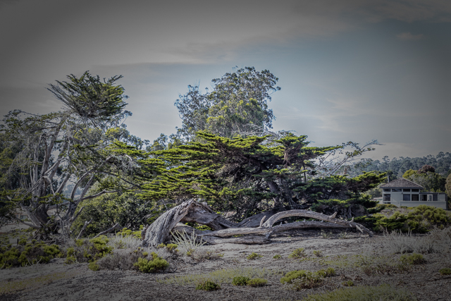 Monterey Cypress trees near the foot of Ocean Avenue.