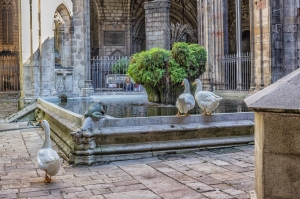 Three of the 13 geese in the cloister of the Barcelona Cathedral.