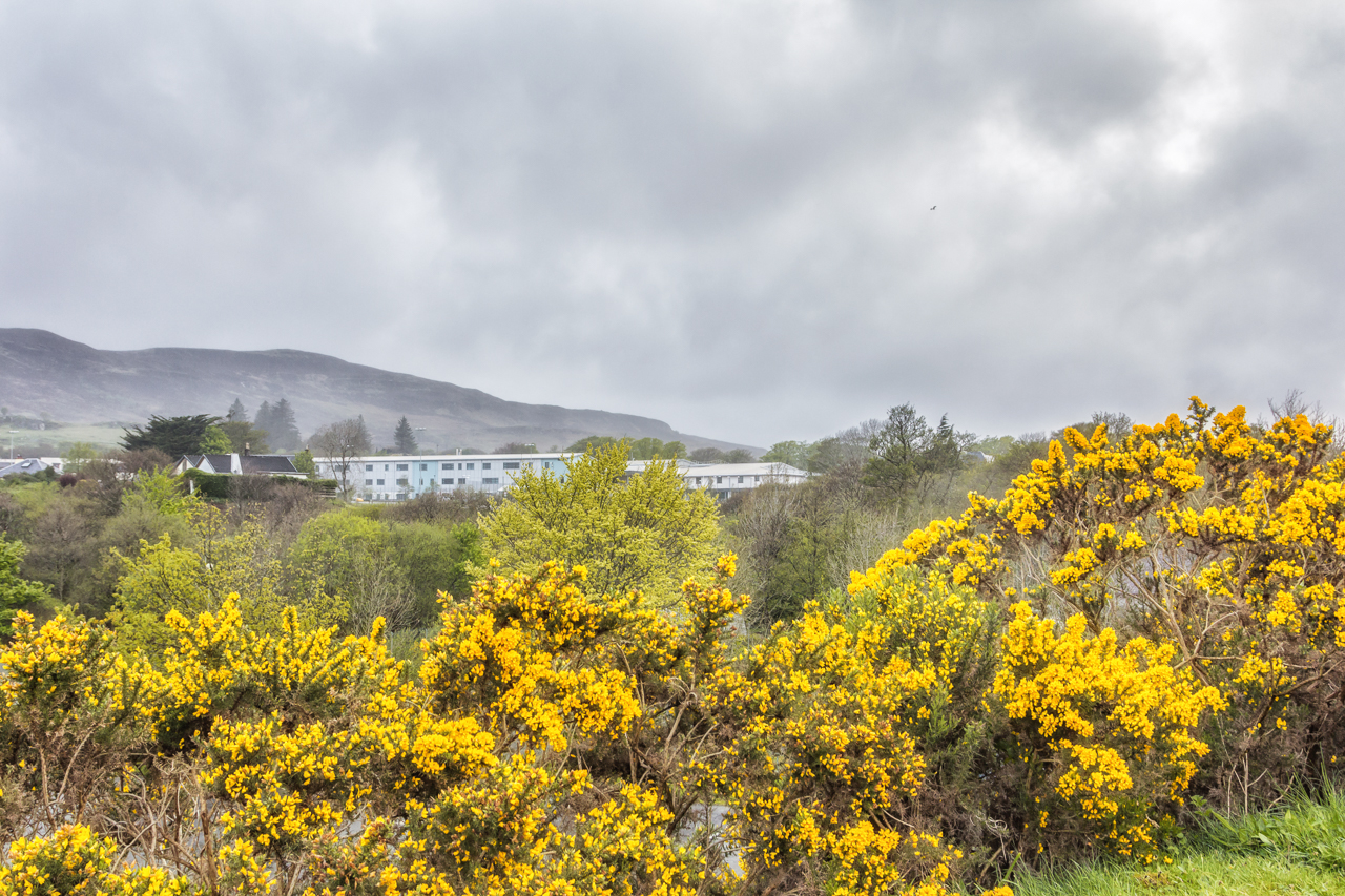 What Is Pretty And Yellow And Found All Over Scotland Crow Canyon